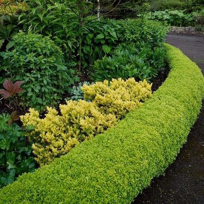 Siepi sempreverdi tipologie e consigli habitissimo - L arte dei giardinieri di potare in forme bizzarre ...