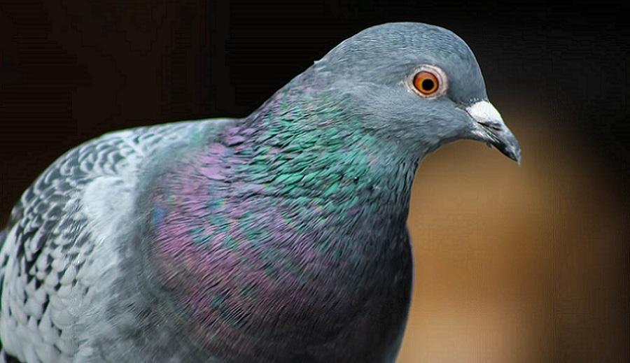 Disinfestazioni da piccioni