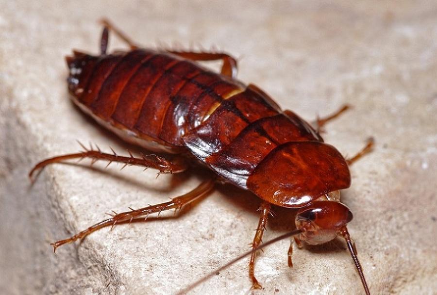Disinfestazioni da scarafaggi