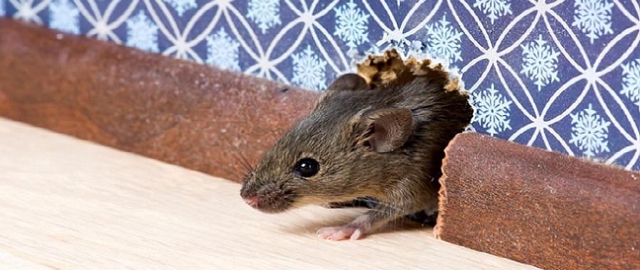 Disinfestazioni da topi