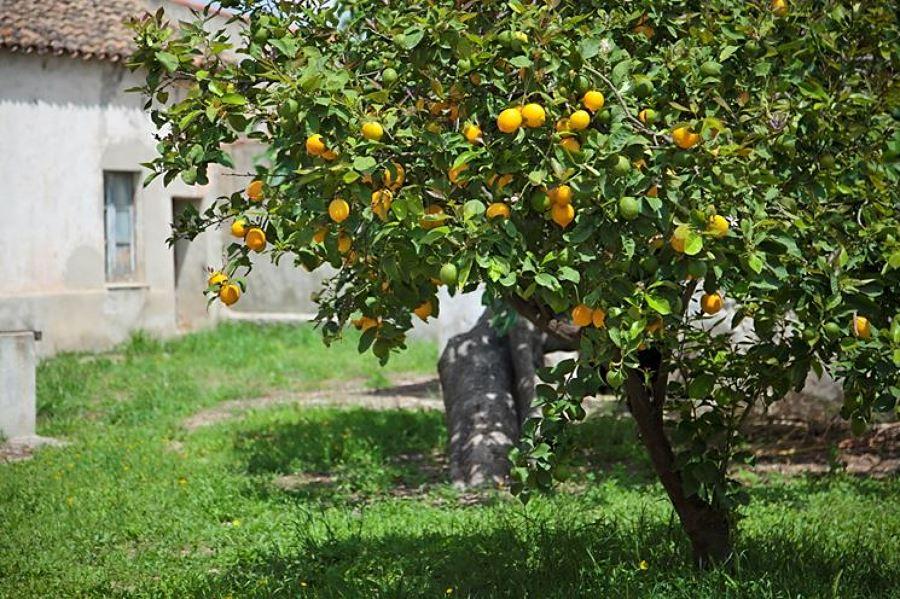 Piantare alberi in giardino: limoni