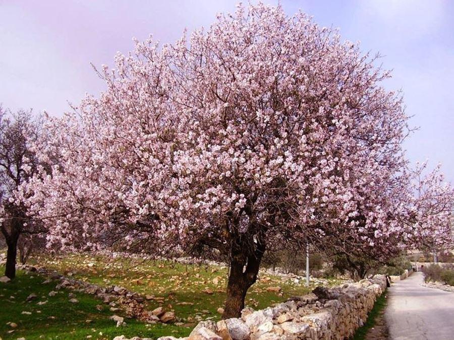 Piantare alberi in giardino: mandorlo