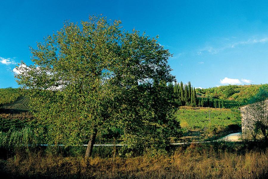 Piantare alberi in giardino: noci