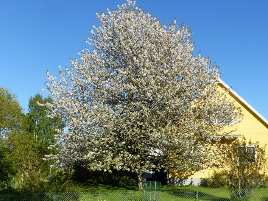 Piantare alberi in giardino: ciliegio
