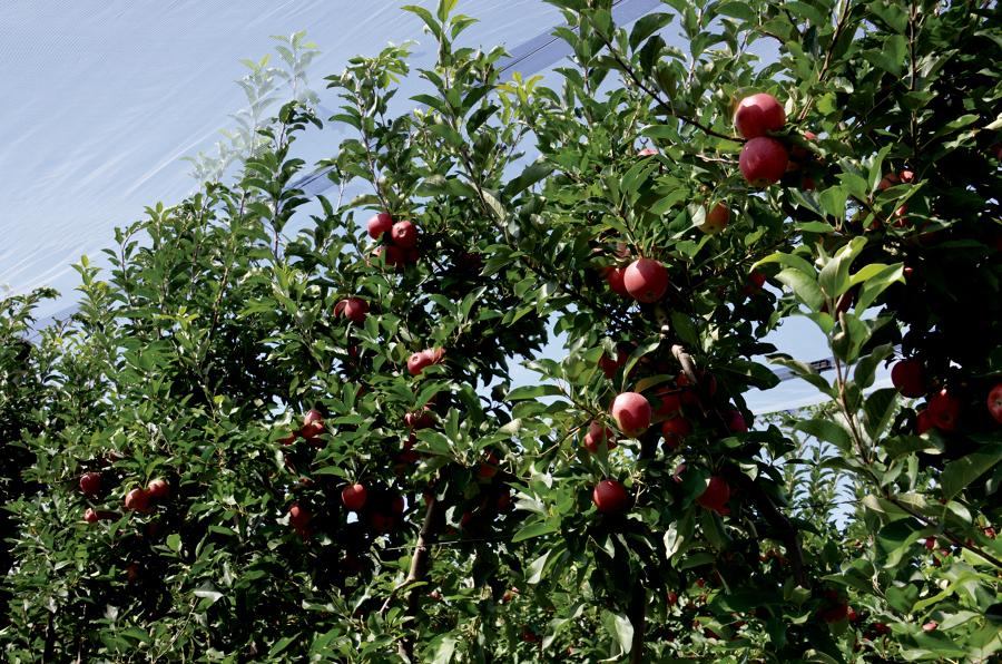Quanto costa e quando potare o tagliare gli alberi for Potatura alberi da frutto