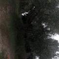 olivi da estirpare