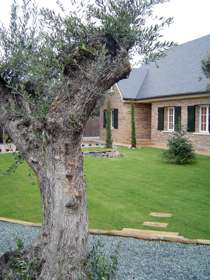 Foto aiuola in legno granulati ed olivo di decorex for Aiuola con olivo