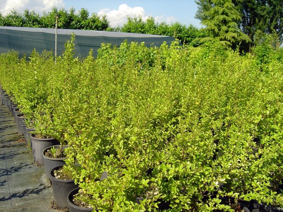 Foto piante da siepe de pr delle volte 121033 habitissimo for Piante da siepe