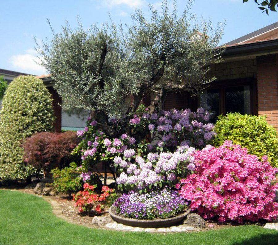 Aiuole giardino con ulivo foto ulivo e acidofile di andrea for Piante da aiuola