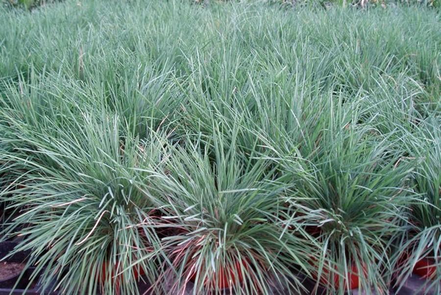 Vendita piante bambu piante di bamb in vasi fotografia for Bambu vendita on line