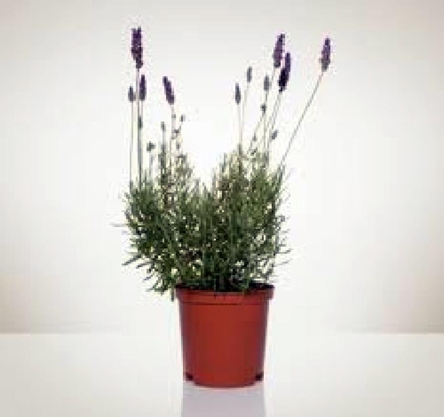 Foto vendita piante di aurora servizi per il verde for Nergi piante vendita