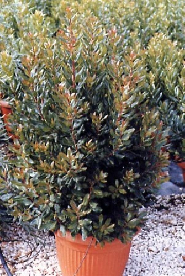 Foto vendita piante de aurora servizi per il verde for Nergi piante vendita