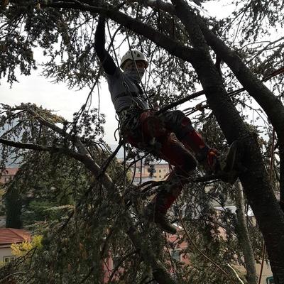 potatura cedro treeclimbing