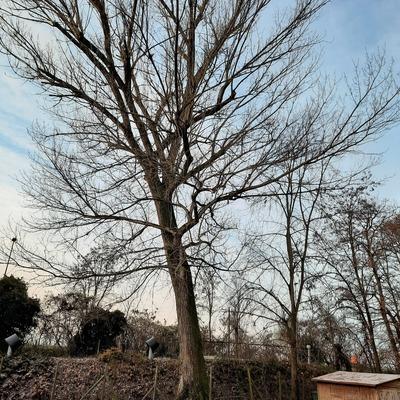 Potatura di un albero ad Alto Fusto