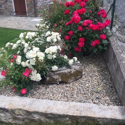 Aiuola con rose in varietà