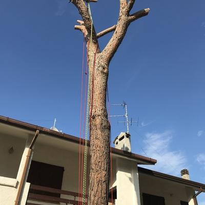 Sequenza di abbattimento pino in Tree climbing