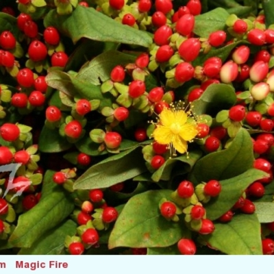 Hypericum Magical Red