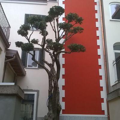 Olea Fragrans trasformazione a bonsai