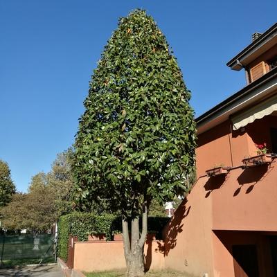 potatura in forma obbligata di magnolia