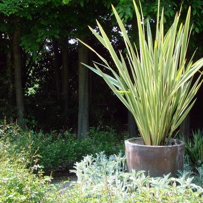 Phormium Tenax Variegato coltivato in contenitore
