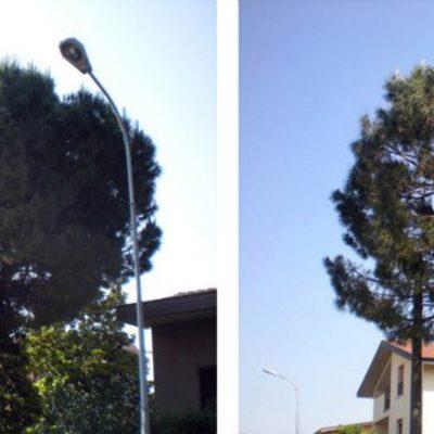 potatura e rimonda del secco Pinus pinea in giardino privato