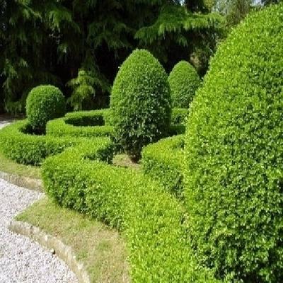 Potatura siepi e piante in giardino a roma e provincia