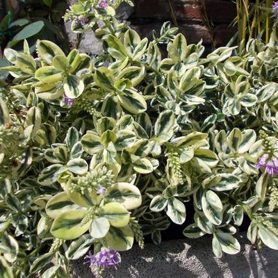 veronica spicata variegata