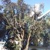 Potatura e abbassamento pino