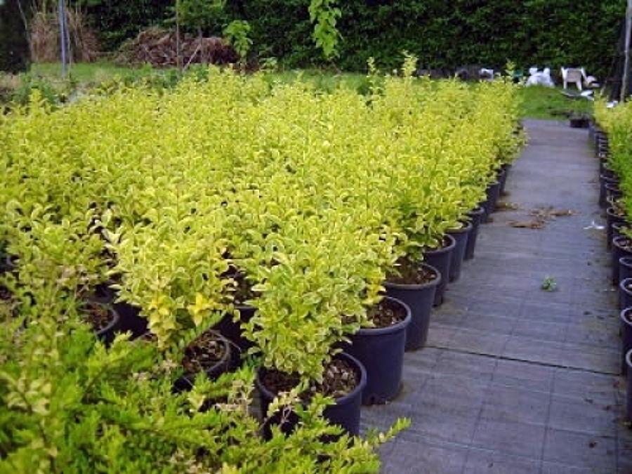 Offerta Piante : Offerta piante siepe a offerte giardinieri
