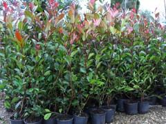 Piante da siepe a foglie rosse: Photinia alta 1 metro a 5 euro