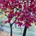 alberi per giardino con foglie rossastre