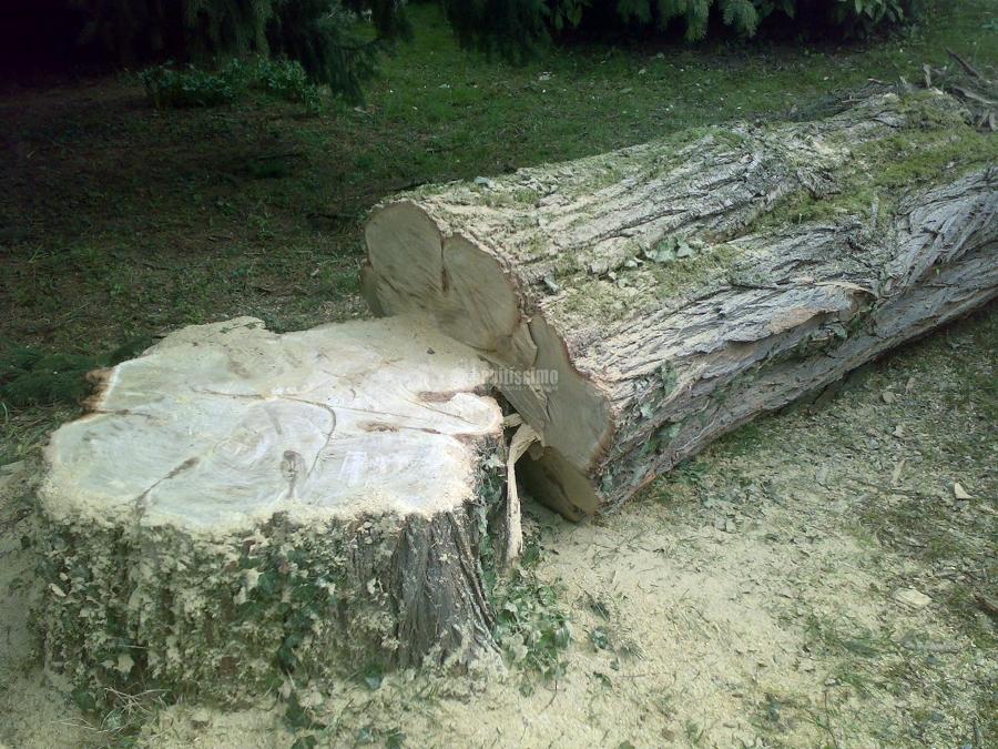 Abbattimento acacia