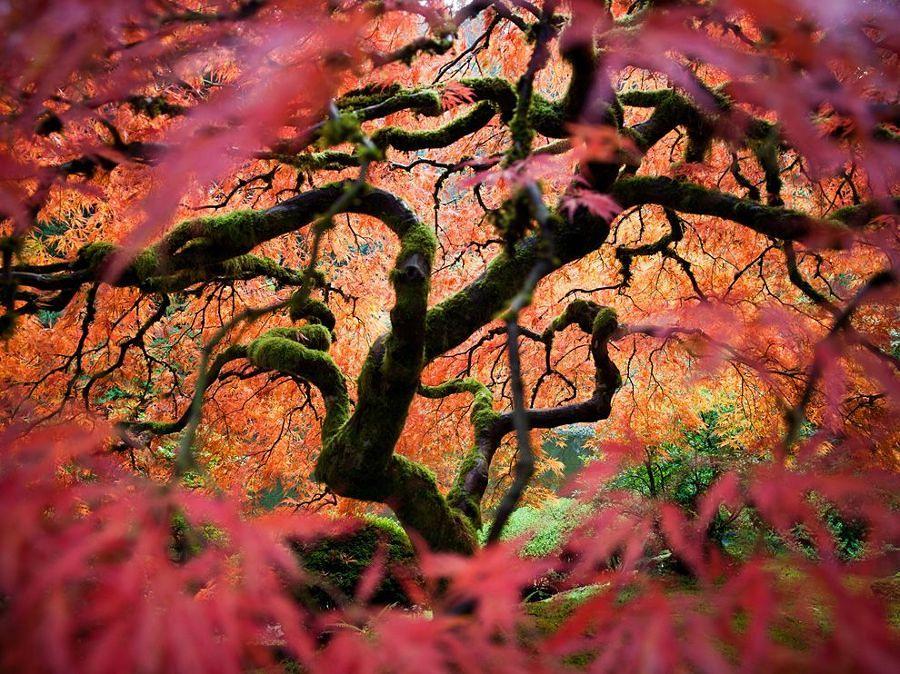 Acero giapponese uno splendido albero per il tuo giardino for Aceri giapponesi