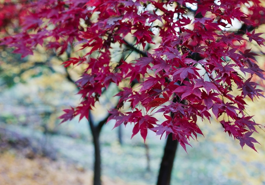 Foto alberi per giardino con foglie rossastre di valeria - Foto di alberi da giardino ...