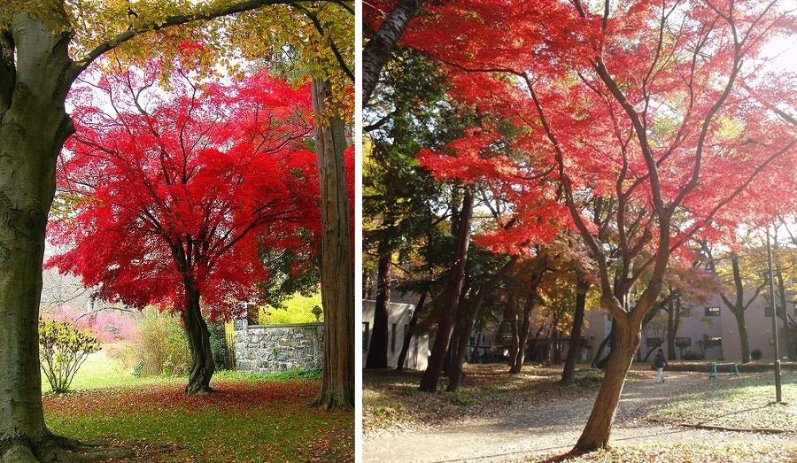 Acero giapponese uno splendido albero per il tuo giardino - Alberi da giardino di piccole dimensioni ...