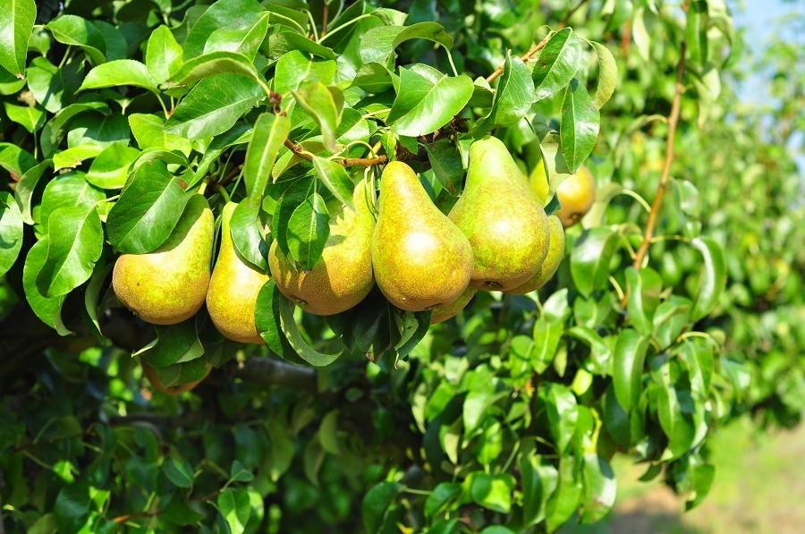 Foto albero da frutto pero di valeria del treste 330389 - Alberi frutto giardino ...