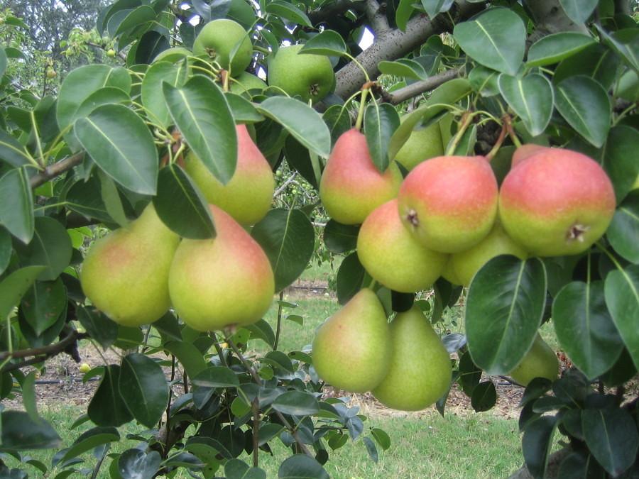 Alberi da frutto da seminare a settembre e ottobre idee for Albero da frutto nano
