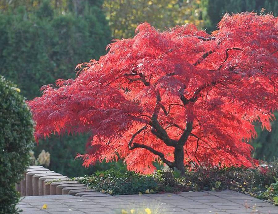 Acero giapponese uno splendido albero per il tuo giardino for Acero rosso giapponese