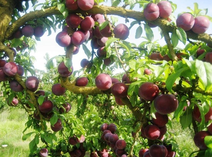 Alberi da frutto da seminare a settembre e ottobre idee - Alberi frutto giardino ...