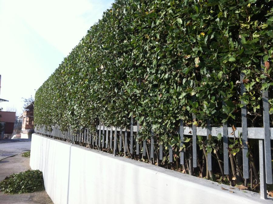 Taglio siepi e cespugli pi potatura magnolia idee for Alloro siepe