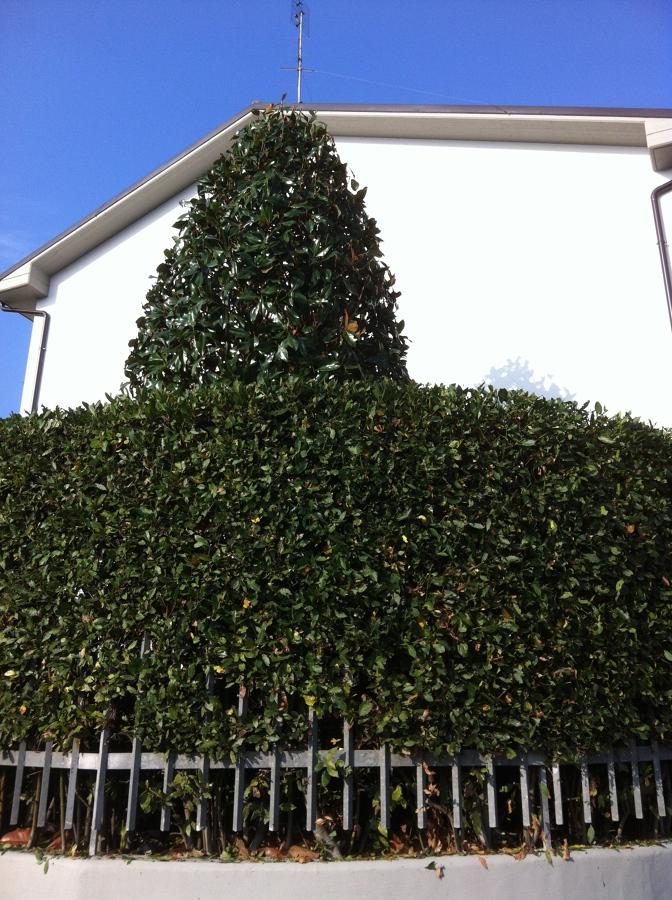 Taglio siepi e cespugli pi potatura magnolia idee - Siepe di ulivo ...