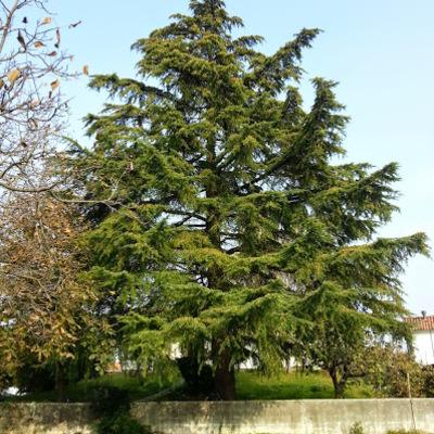 Progetto di Abbattimento cedro 20m circa Pasian di Prato