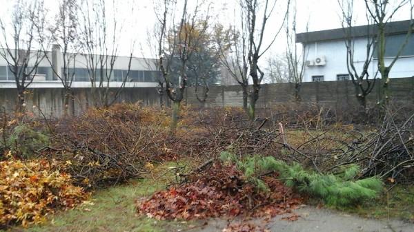 Potatura 74 alberi di tiglio, larice e carpene