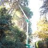 potatura pino marittimo #pinus pinea#