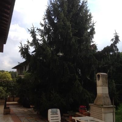 Potatura abete milano milano habitissimo - Altezza alberi giardino privato condominio ...