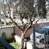 Potatura di un olivo