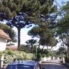 Devo potare due alberi di pino