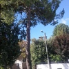 Taglio pino marino venezia terraferma