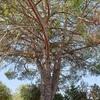 Abbattimento pino