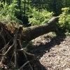 Abbattere alberi di robinia e smaltire pioppo
